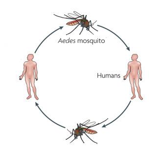 Dengue Transmission.