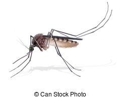 Dengue mosquito Stock Illustrations. 970 Dengue mosquito clip art.