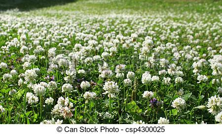 Stock Images of White clover field.