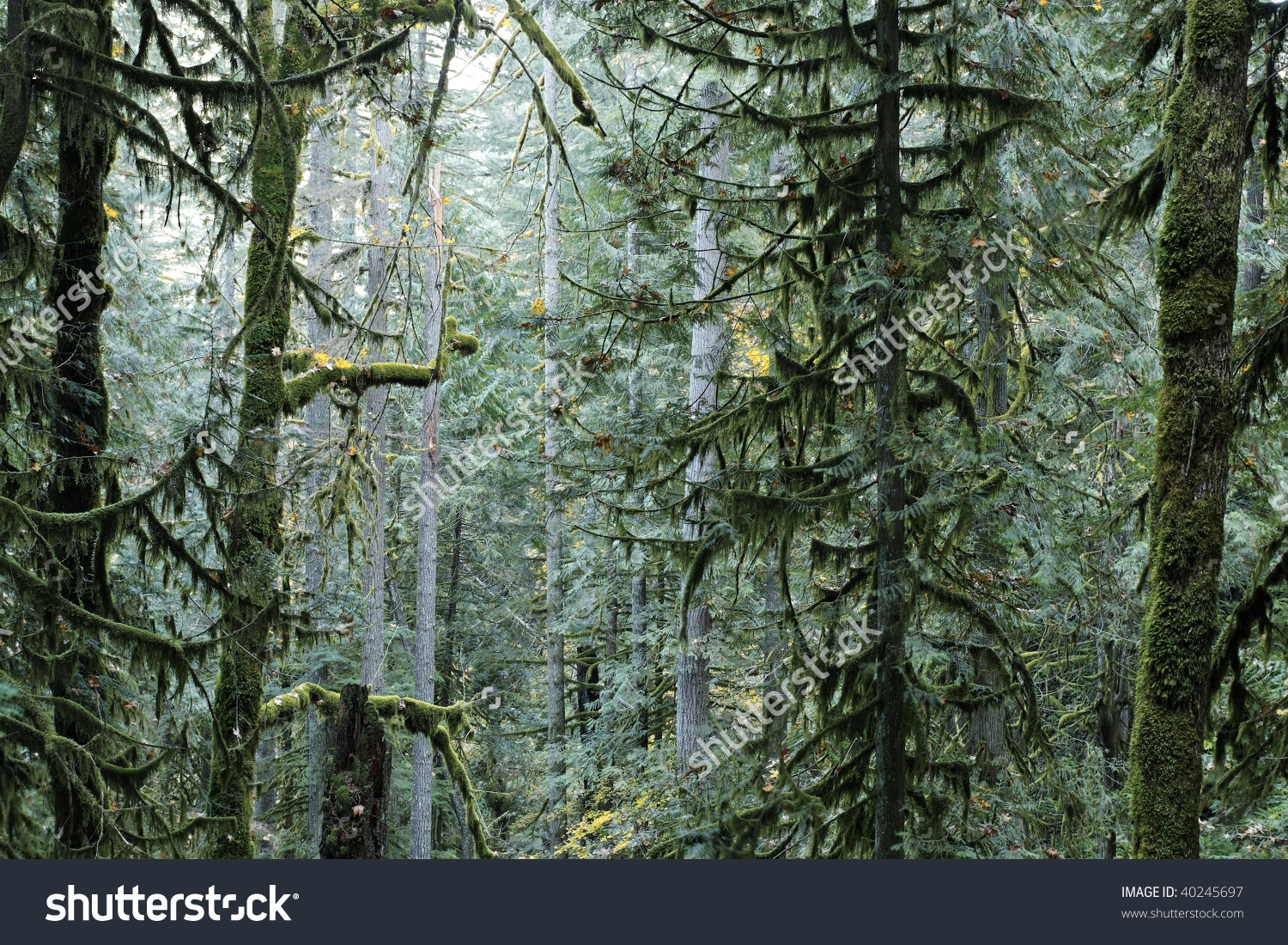 Dense Fir Trees In An Old Growth Forest.