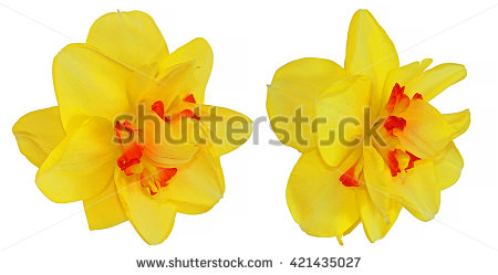 Narcissus Isolated Stock Photos, Royalty.