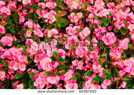 Pink Begonia Stock Photos, Royalty.