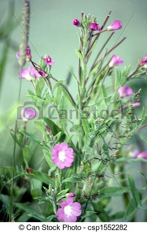 Stock Photo of Hairy Willow Herb G.