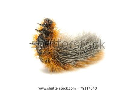 Furry Caterpillar Fotografie, snímky pro členy zdarma a vektory.