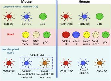 Human Tissues Contain CD141hi Cross.