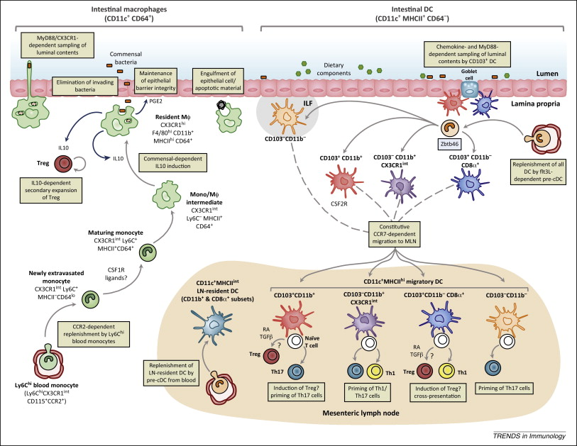 Intestinal macrophages and dendritic cells: what's the difference.