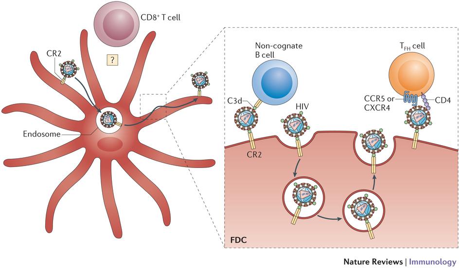 Follicular dendritic cells: dynamic antigen libraries : Nature.