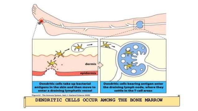 Dendritic Cell Presentation.