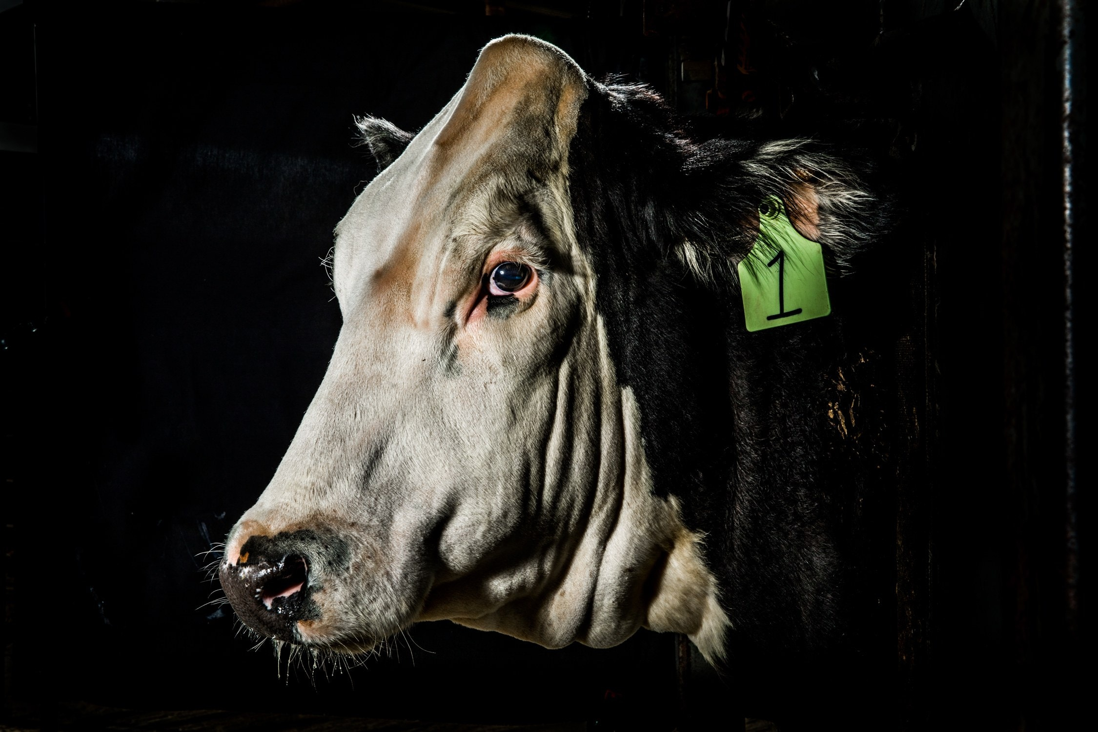 A Cow, a Controversy, and a Dashed Dream of More Humane.