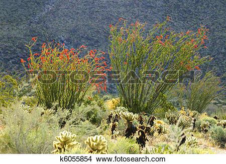 Stock Photo of Blooming Desert Plant Ocotillo in Anza Borrego.
