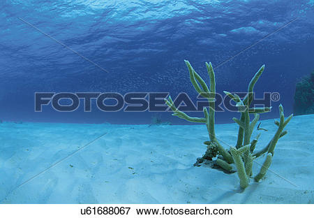 Picture of Coral Which Blooms On A Submarine Desert u61688067.