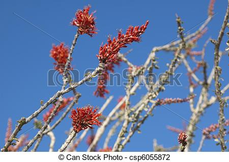 Stock Photo of Blooming Desert Plant Ocotillo in Anza Borrego.