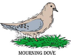 Mourning Dove In Grass.