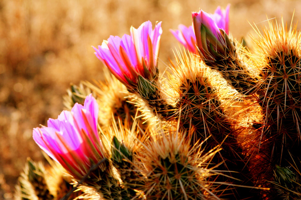 Desert flower images free stock photos download (12,201 Free stock.