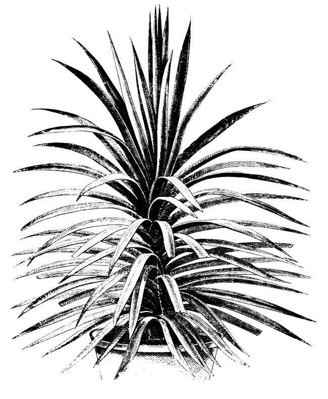 Desert Agave, narrow leaves.
