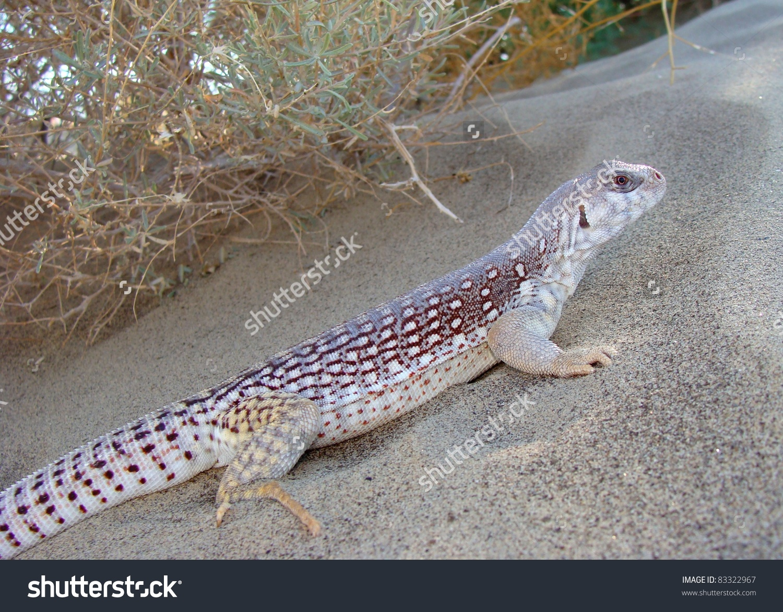Desert Iguana Dipsosaurs Dorsalis Basking On Stock Photo 83322967.