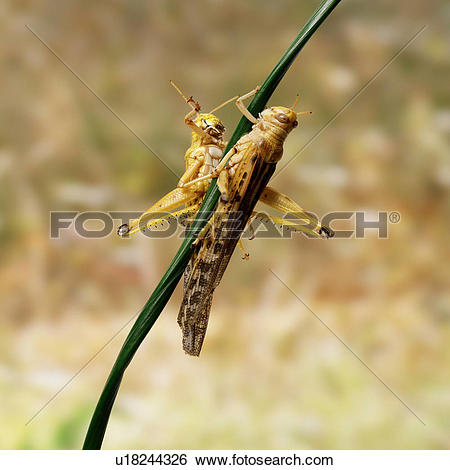 Stock Images of Desert Locusts on twig u18244326.