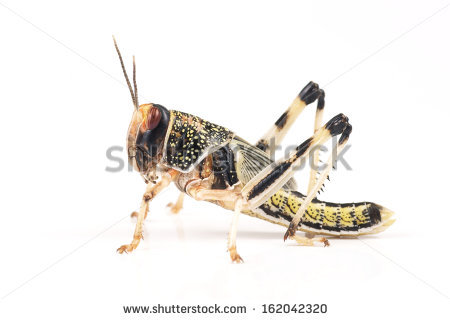 Locusts Stock Photos, Royalty.