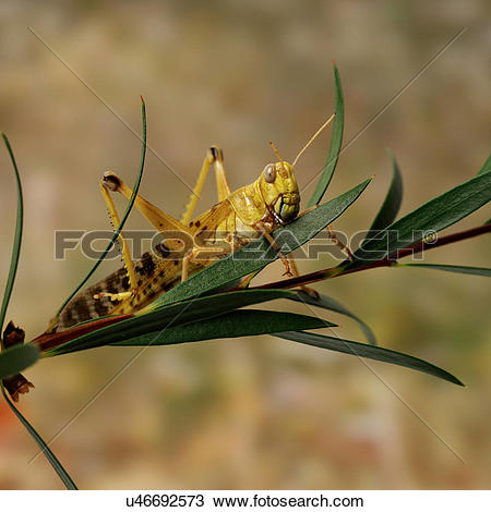 Stock Photo of Desert Locust on leaves u46692573.