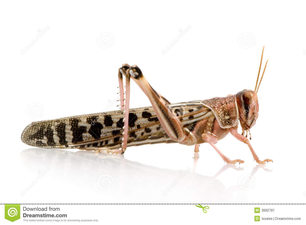 Desert Locust. Close Up Royalty Free Stock Images.
