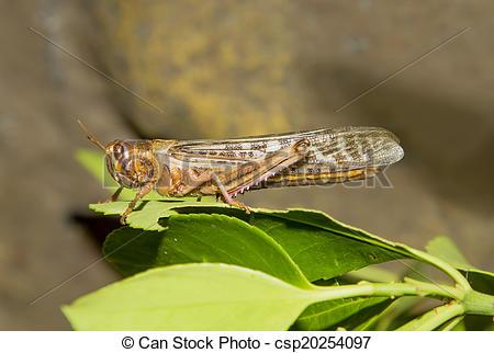 Stock Photographs of Desert Locust (Schistocerca gregaria.