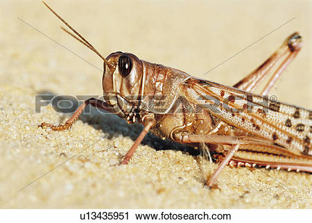 Stock Photography of Desert Locust. close up u13435951.