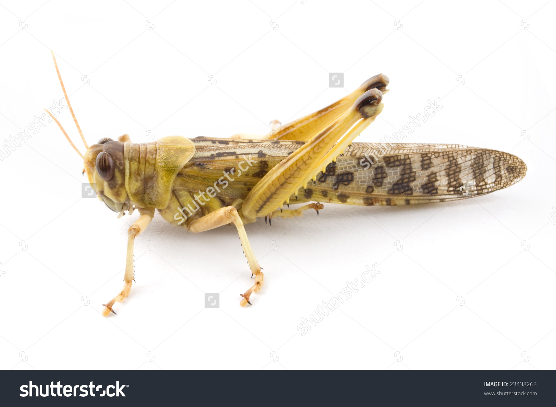 African Desert Locust Schistocerca Gregaria Isolated Stock Photo.