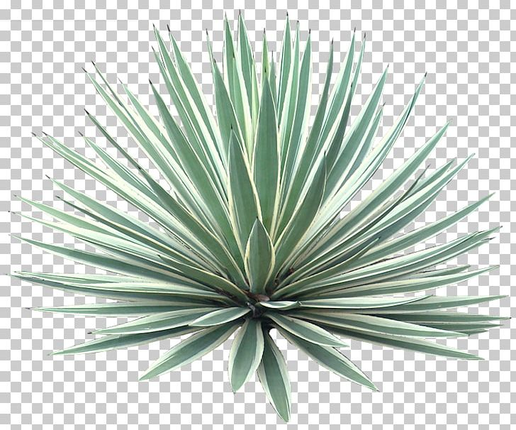 Agave Angustifolia Plant Tree Desert PNG, Clipart, Agave, Agave.