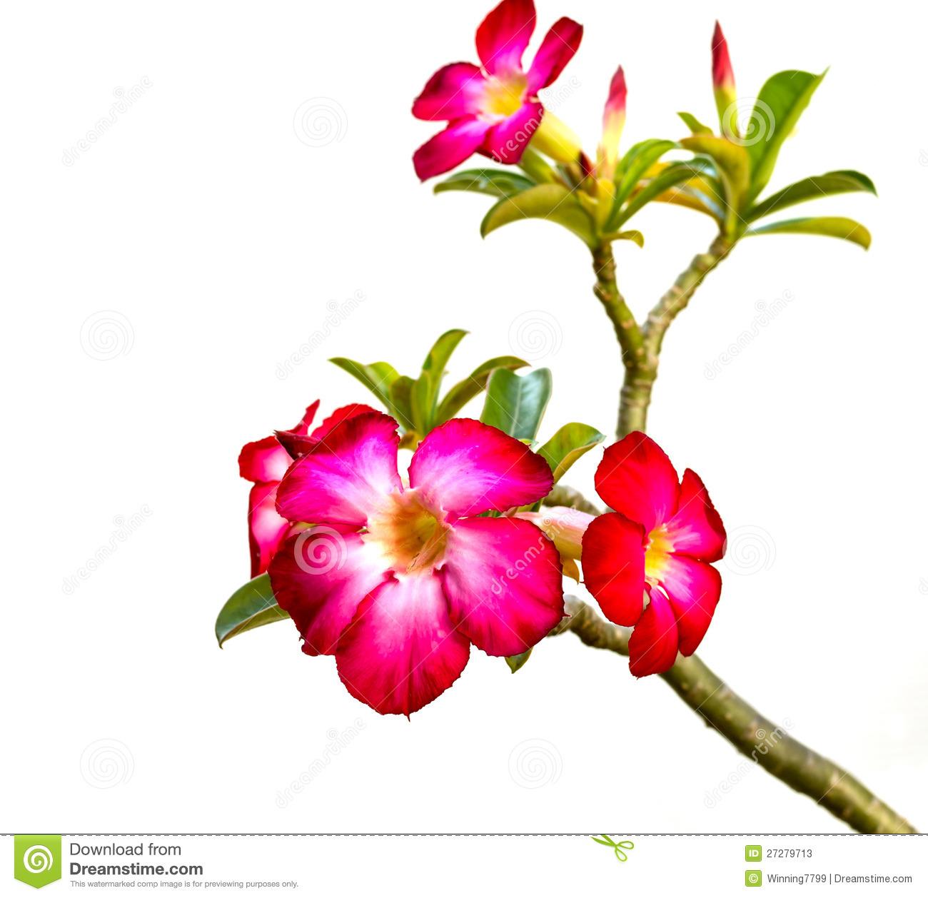 Pink Bigononia Or Desert Rose Stock Photos.