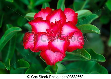 Stock Image of Desert rose..