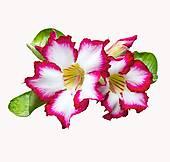 Stock Image of Desert rose flowers on white background k11505925.