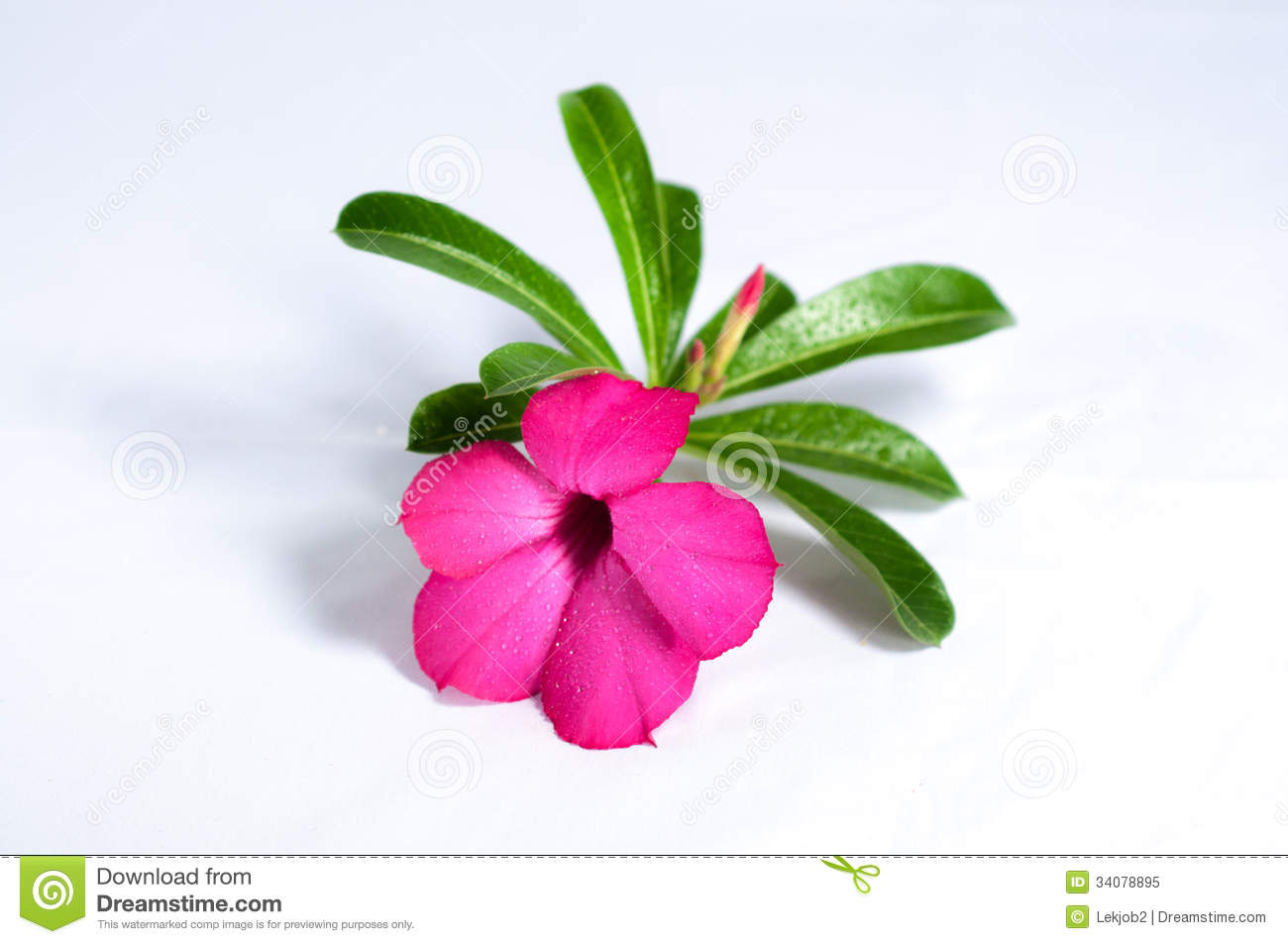 Desert Rose And Drops Of Water Royalty Free Stock Photo.