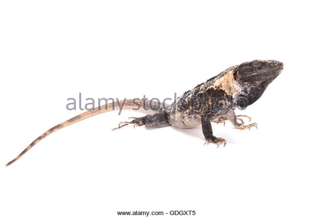 Iguana Tail Stock Photos & Iguana Tail Stock Images.