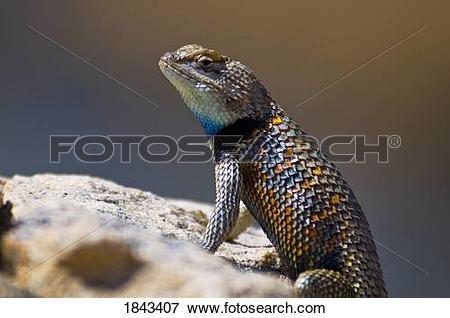 Picture of A colorful male desert spiny lizard (Sceloporus.