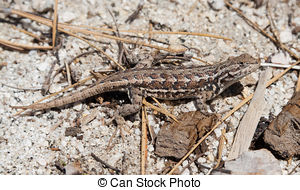 Stock Photo of Desert Spiny Lizard (Sceloporus magister) sunning.