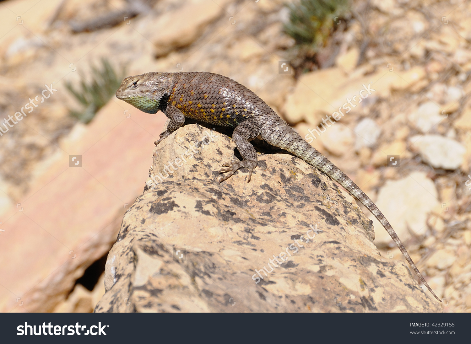 Desert Spiny Lizard In Grand Canyon Stock Photo 42329155.