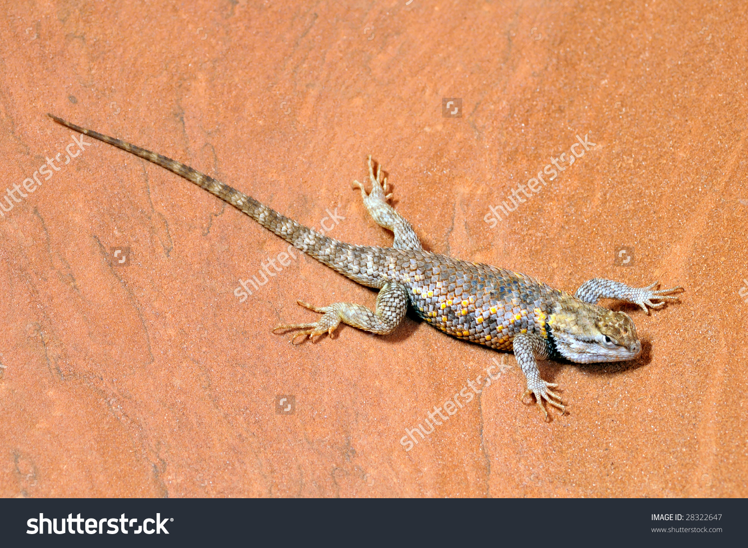 Desert Spiny Lizard (Sceloporus Magister) On Sandstone In The.