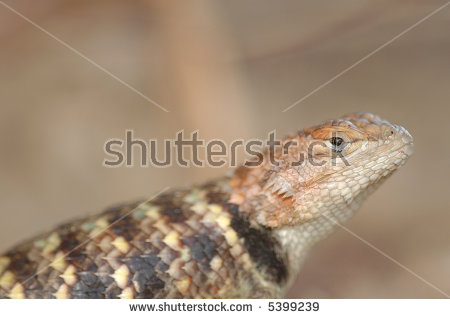 Spiny Lizard Stock Photos, Royalty.
