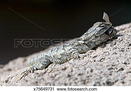 Stock Photography of Desert Spiny Lizard, Sceloporus magister.