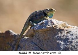Spiny lizard Stock Photo Images. 557 spiny lizard royalty free.