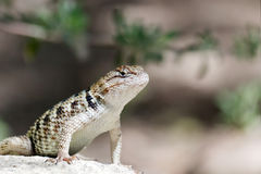 Desert Spiny Lizard Stock Image.