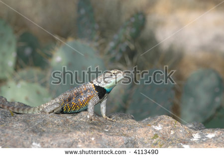 Desert Spiny Lizard Stock Photos, Royalty.
