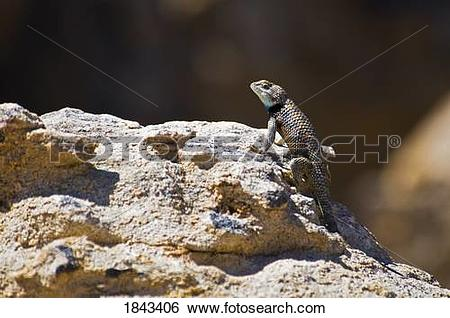 Stock Images of A male desert spiny lizard (Sceloporus magister.