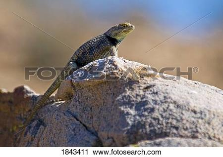 Stock Photography of A male desert spiny lizard (Sceloporus.