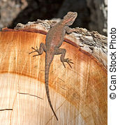 Stock Image of Arizona Spiny Lizard.