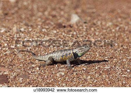 Stock Photo of The Desert Spiny Lizard, Sceloporus magister, Paria.