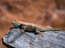 Desert Spiny Lizard (Sceloporus Magister).