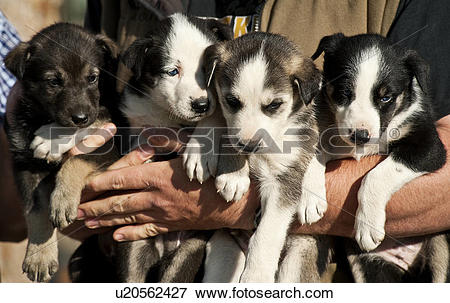 Picture of USA, Alaska, Denali. Alaskan Husky puppies destined to.