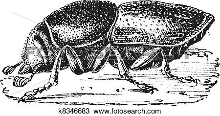 Clipart of Destructive or Dark flour beetle (Tribolium destructor.