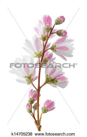 Pictures of Elegant Pinkish White Fuzzy Deutzia Flowers on White.